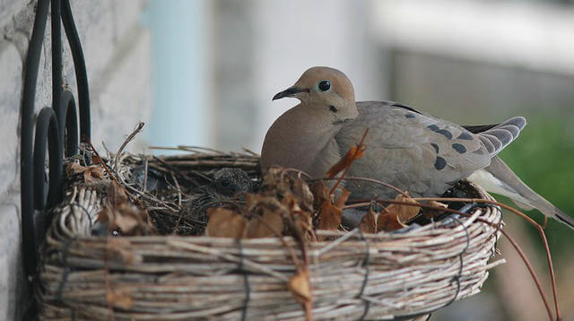 paloma anida en balcon significado