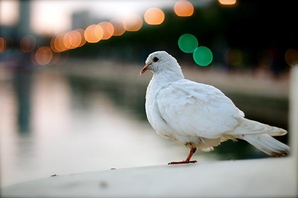 que significa ver una paloma blanca