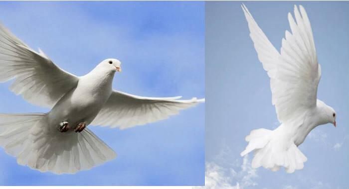 que significa una paloma blanca volando