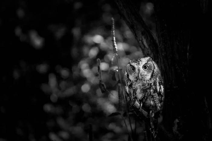 Significado de ver una lechuza de noche
