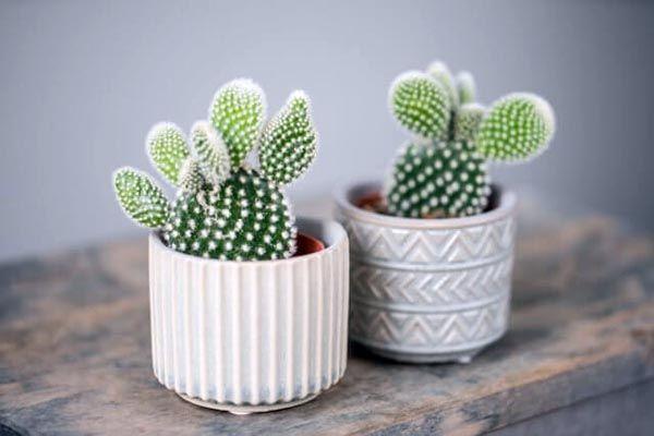 que significado tienen los cactus en la casa