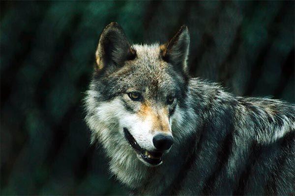 significado del lobo en psicologia