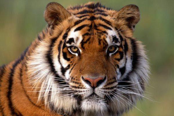 tigre significado espiritual y psicologico