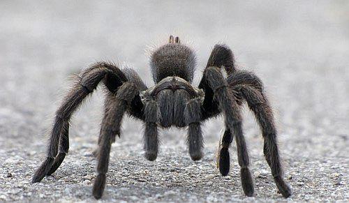 que significa soñar con tarantulas grandes y peludas