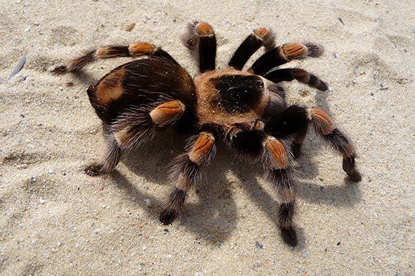 que significa soñar con una tarantula