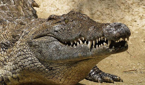 Sueño con cocodrilo
