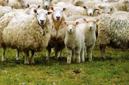 significado de soñar con ovejas