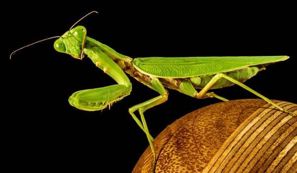 que significa soñar con mantis religiosa