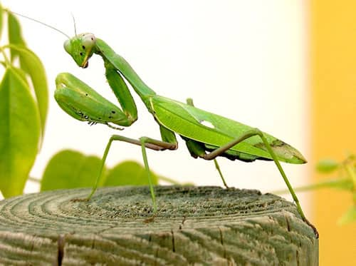 significado de soñar con mantis relgiosa