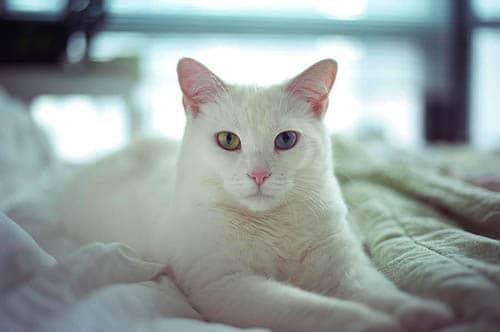 Soñar con gato blanco cariñoso
