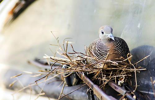 que significa soñar con palomas que estan tranquilas en su nido